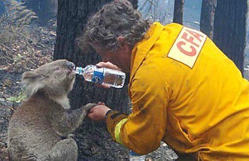 Avustralya Koala Yangın