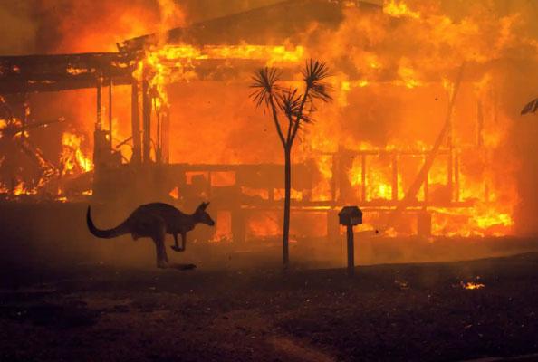 Avustralya Kanguruları Yangın