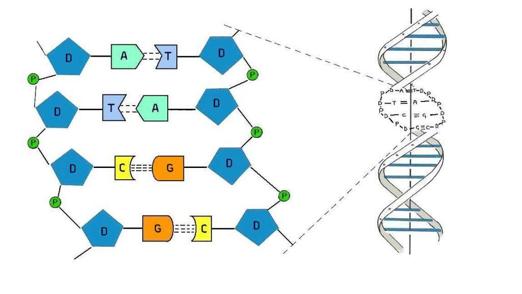 DNA'nın bölümleri